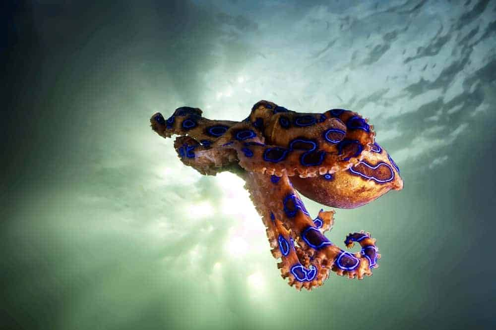 Blue-ringed octopus under the sea.