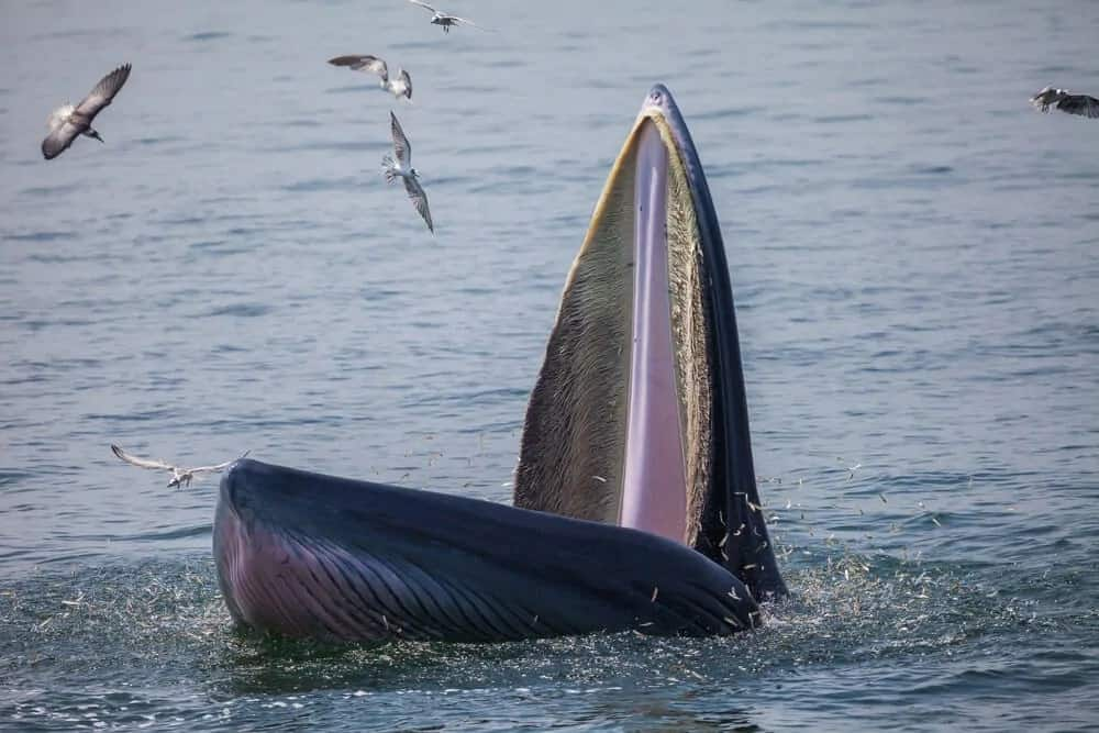 A Bryde's Whale Complex with its mouth wide open.