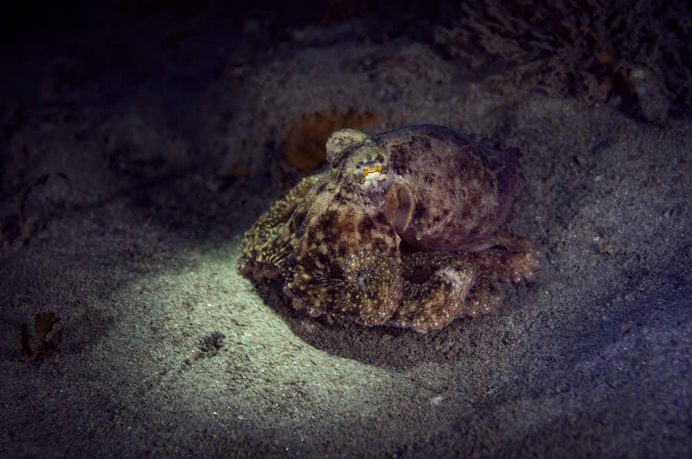 California Two-Spot octopus on the ocean floor.