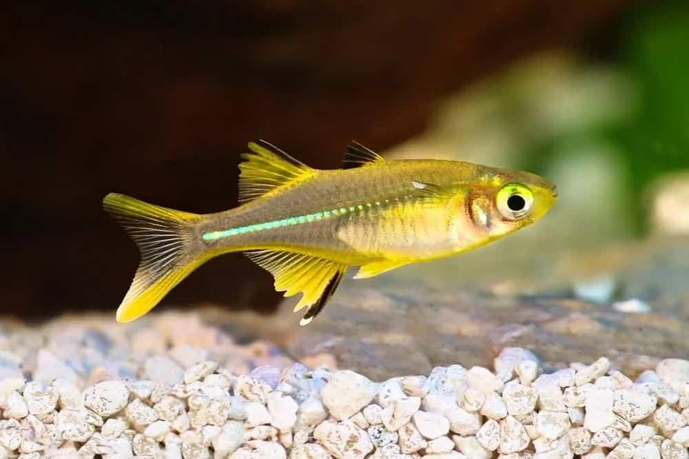 Celebes rainbowfish