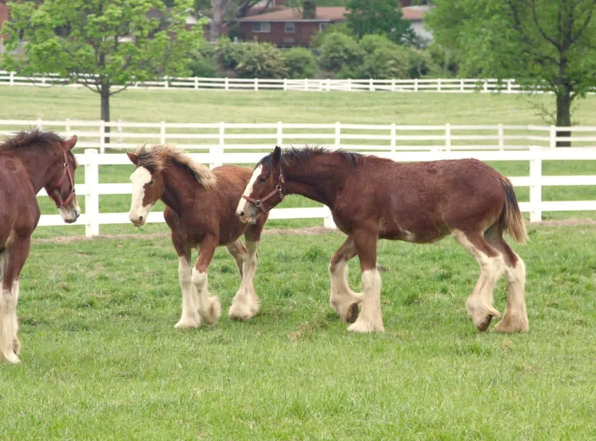 Clydesdale horses in a grassy field
