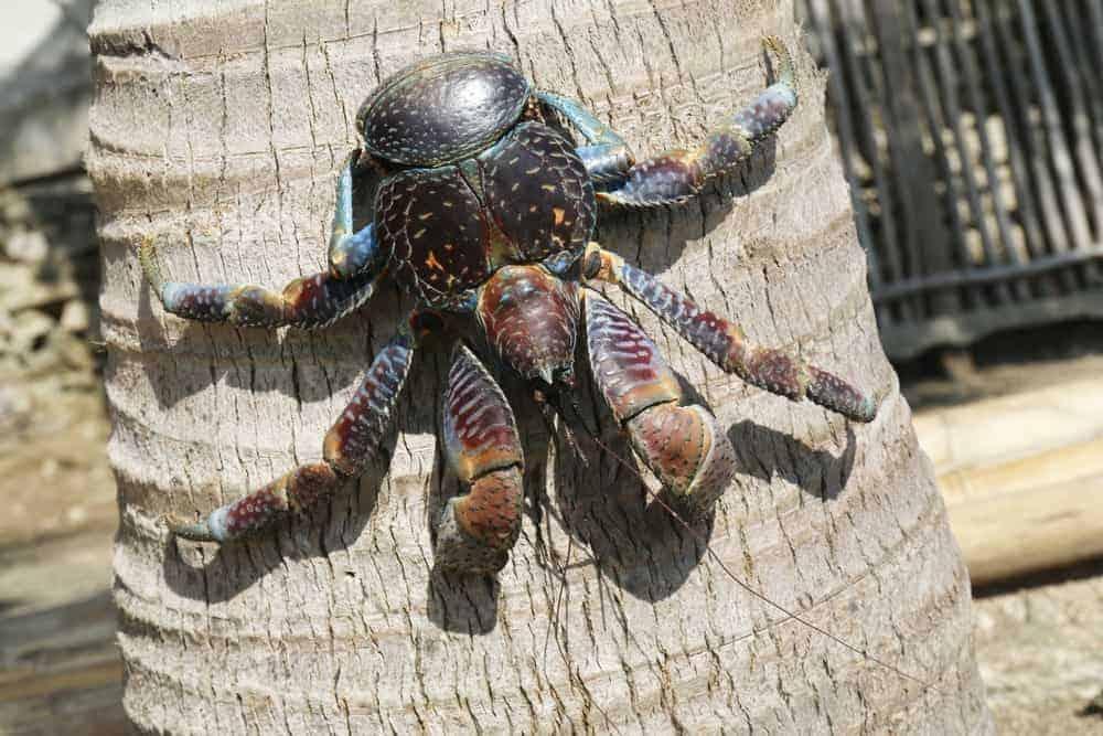 Coconut crab crawling down a coconut tree.