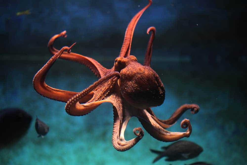 Common octopus in blue waters.