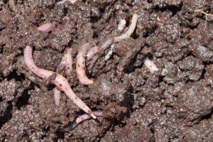 Dendrobaena veneta species of earthworm