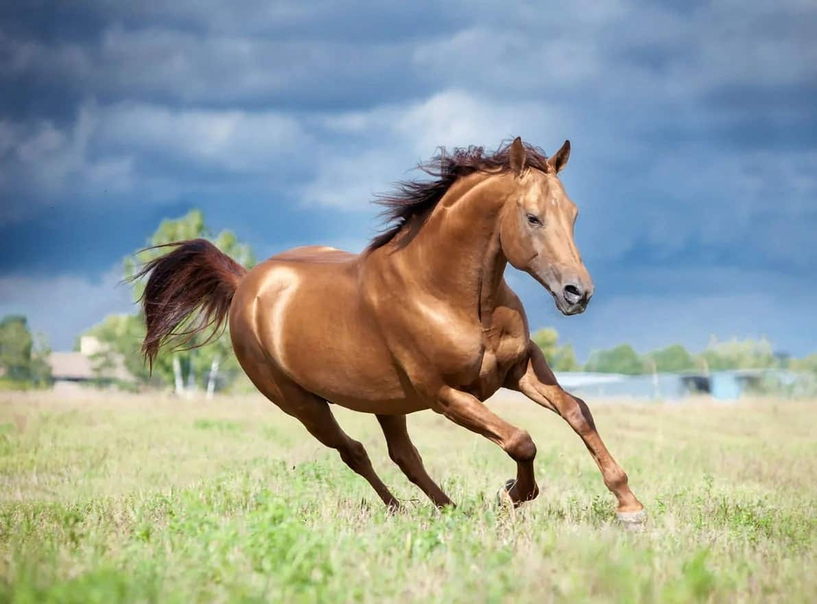 Chestnut brown don horse running gracefully.