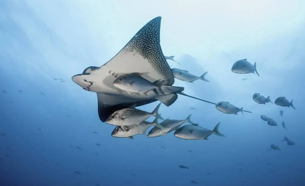 An eagle ray swimming in the ocean along with a school of fish.