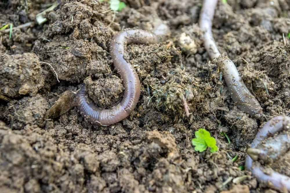Earth-worker worms on soil.
