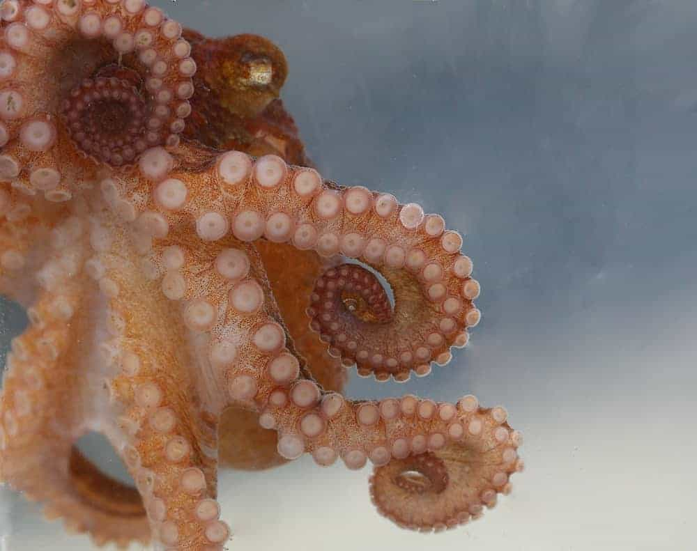 Closeup shot of an East Pacific Red octopus.
