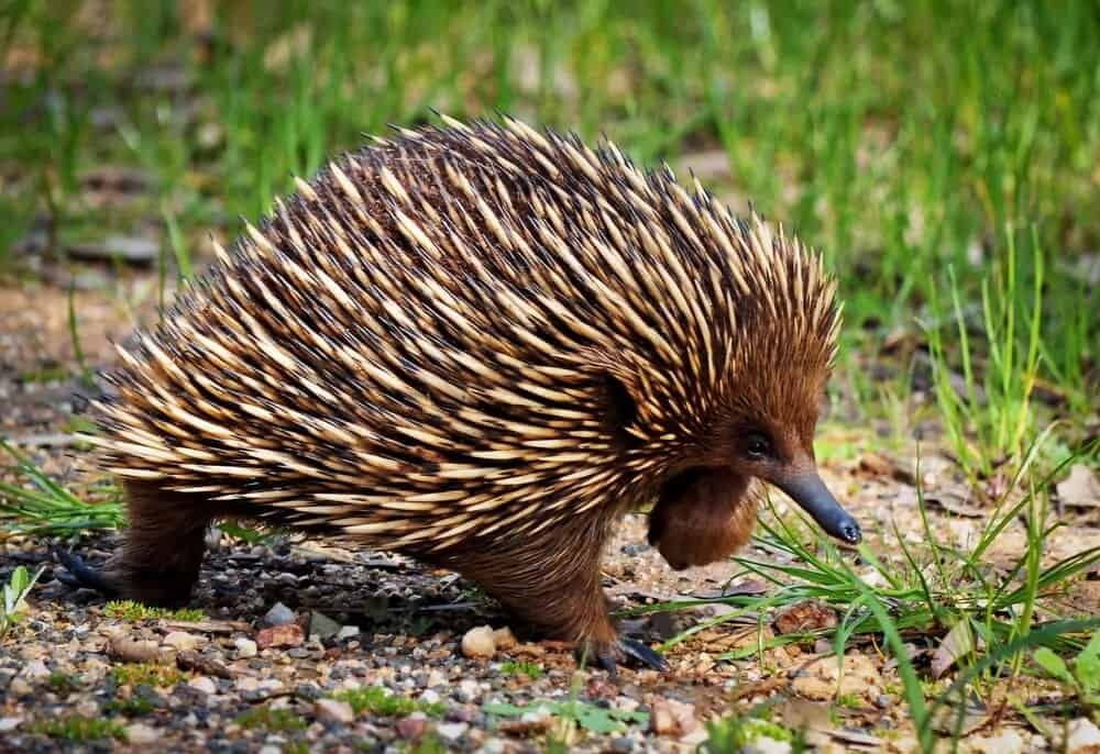 An Echidna freely flaunting its spikes.