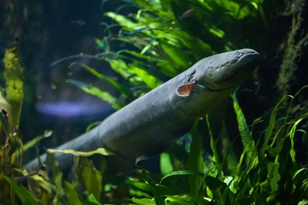 Electric eel swimming above water plants.