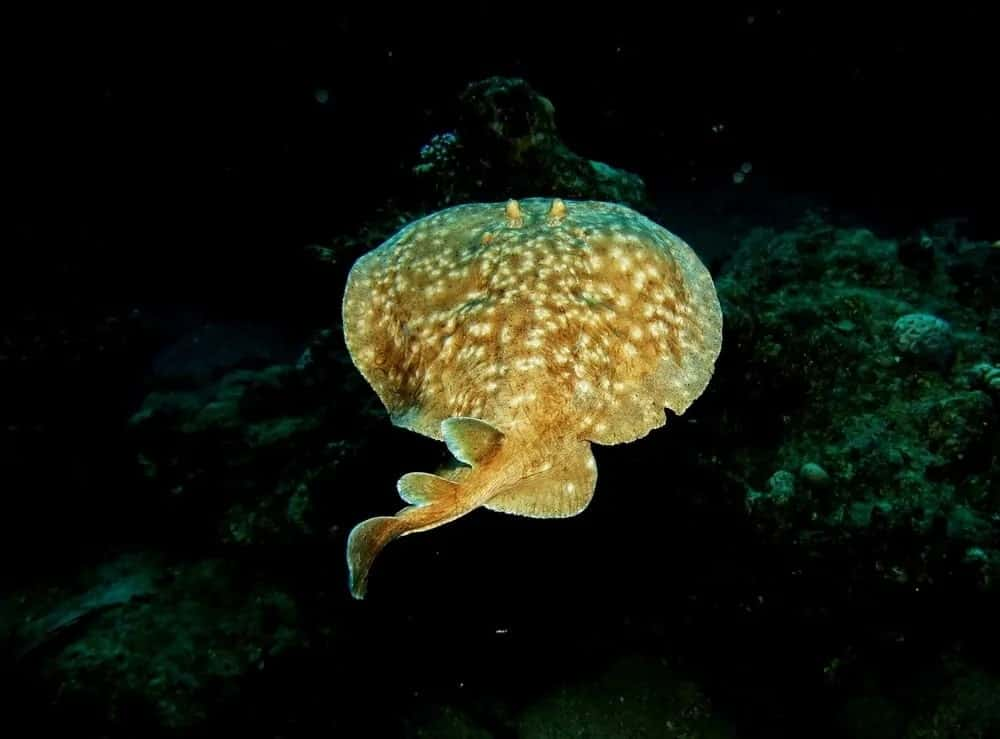 An electric ray at the deepest part of the ocean.
