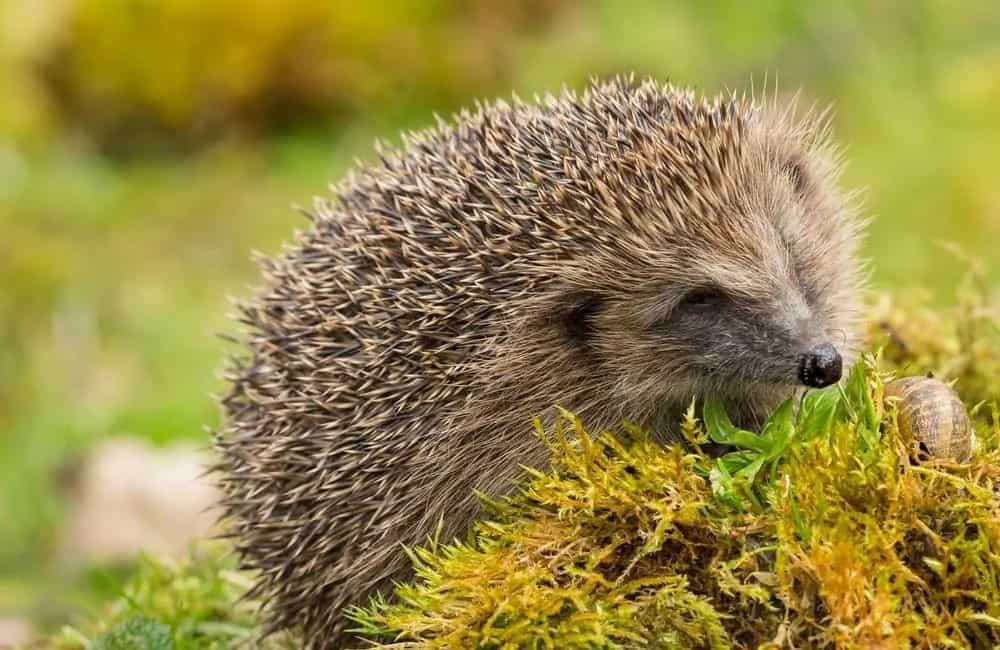 European hedgehog feeding on a leaf.
