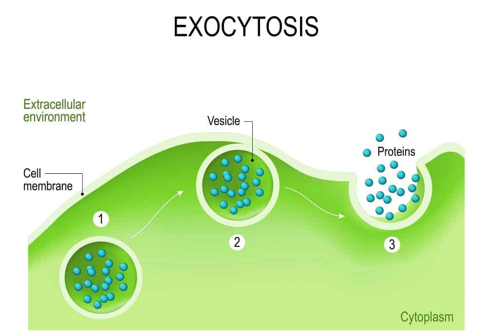 Illistration of the exocytosis.