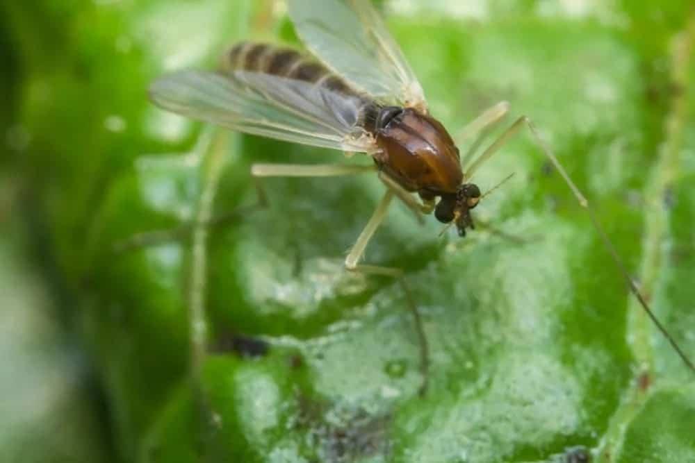 Eye gnat feeding on a leaf.