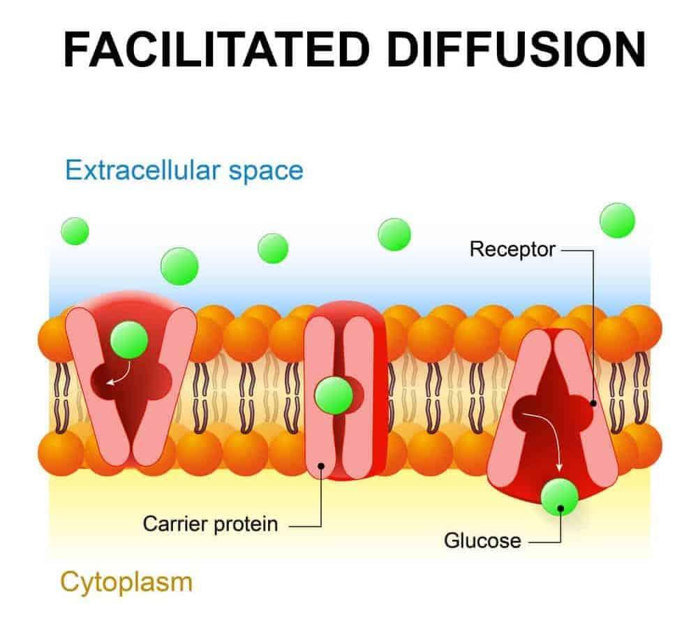 Illustration of facilitated diffusion.