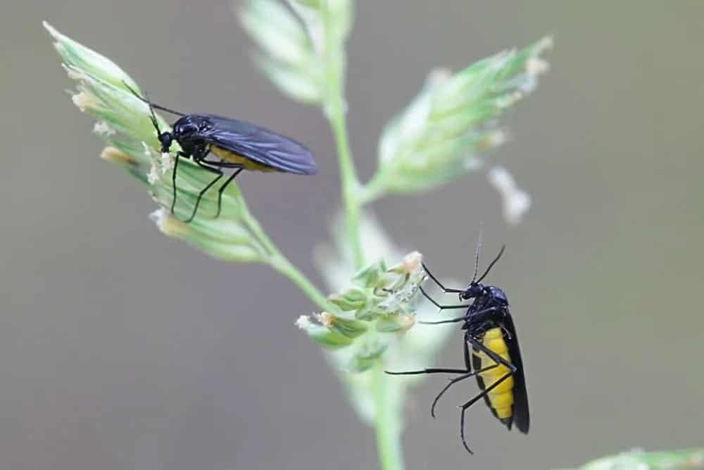 Female black fungus gnats feeding on a plant.