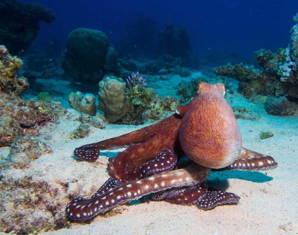 Finned octopus in the ocean floor amidst corals.