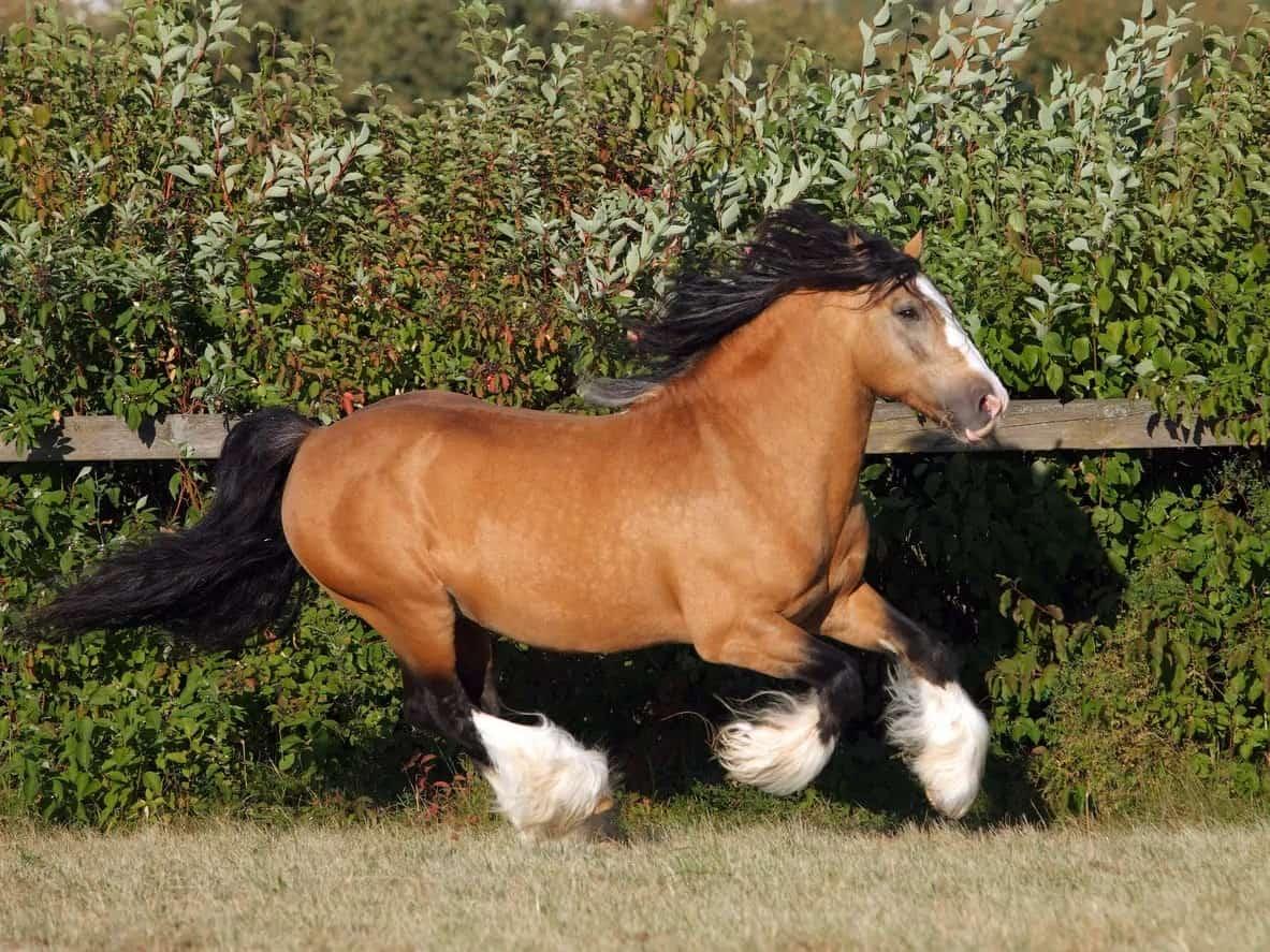 Gypsy Vanner stallion galloping in a paddock.