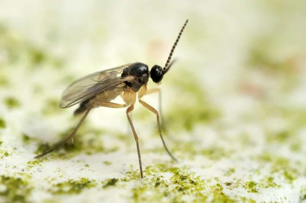 Gnat bug