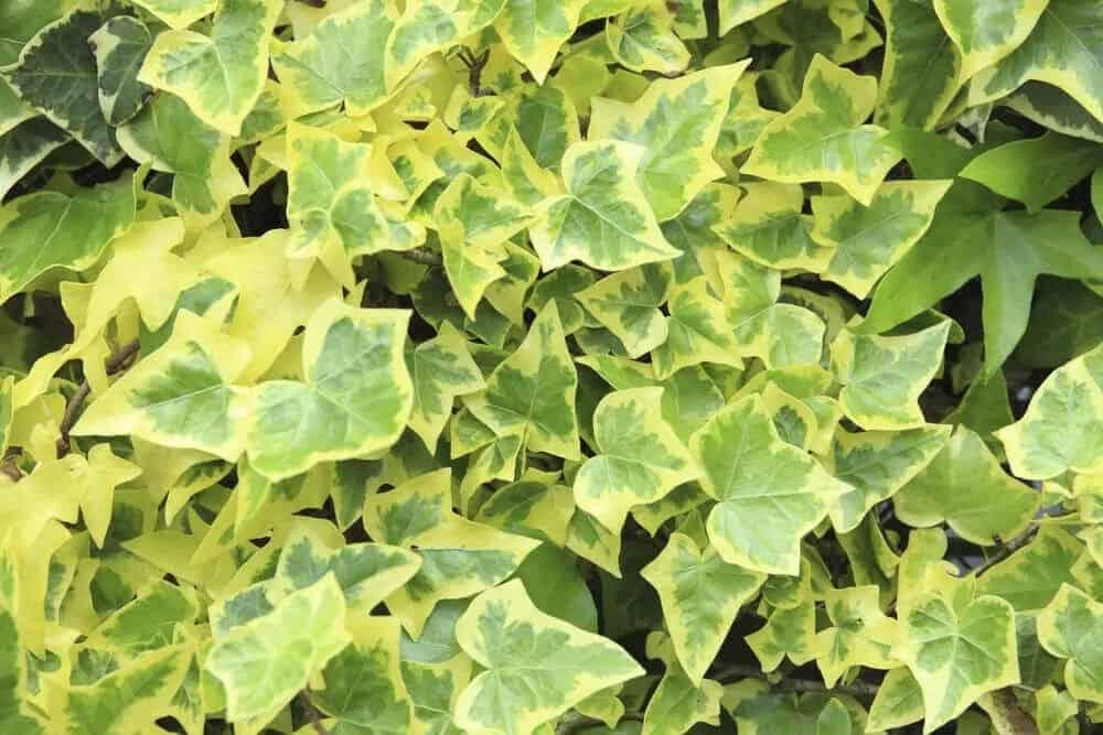 Goldchild ivy