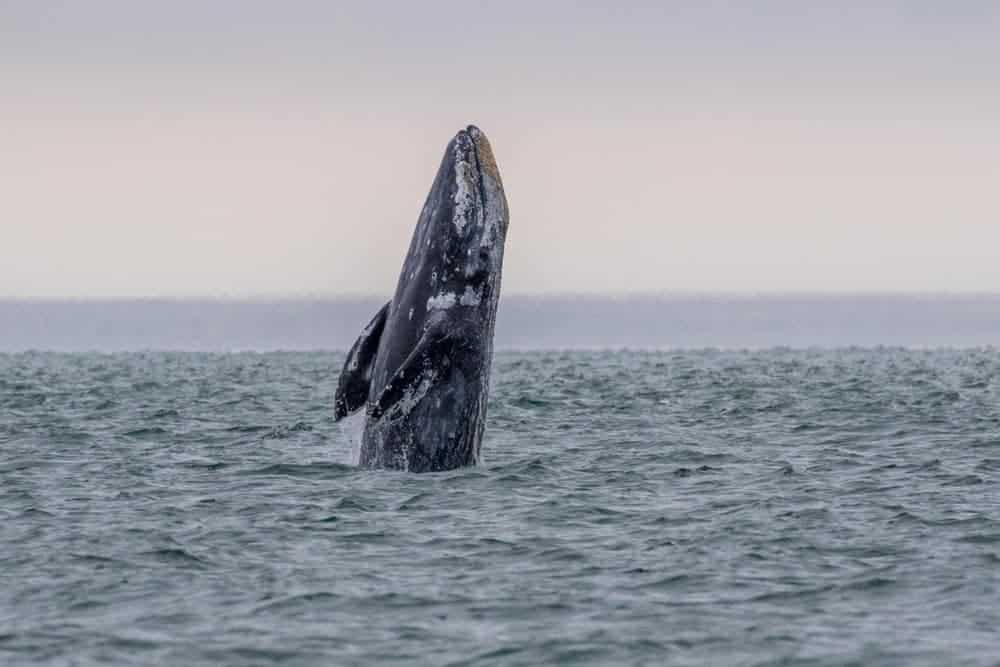 Greyback whale emerging from the water.