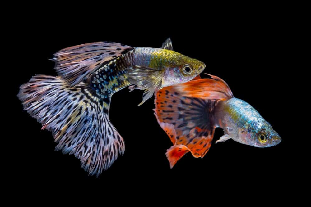 Two guppies against the black background.