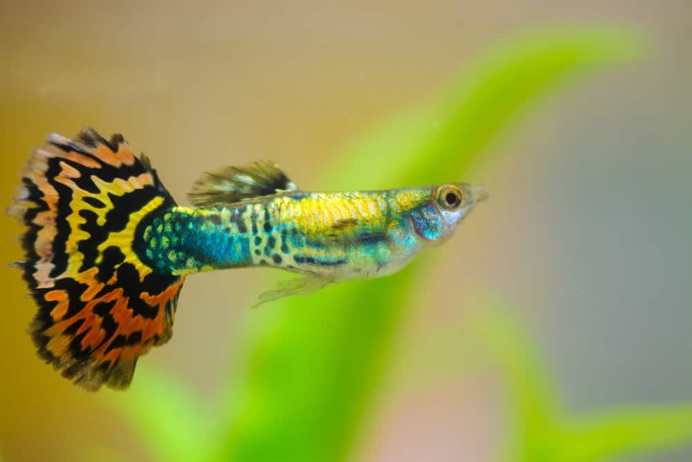 Guppy with a fan-shaped tail.