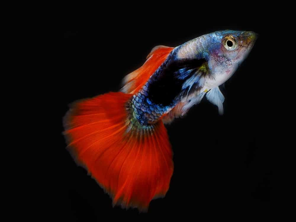 Guppy with fiery red tail.