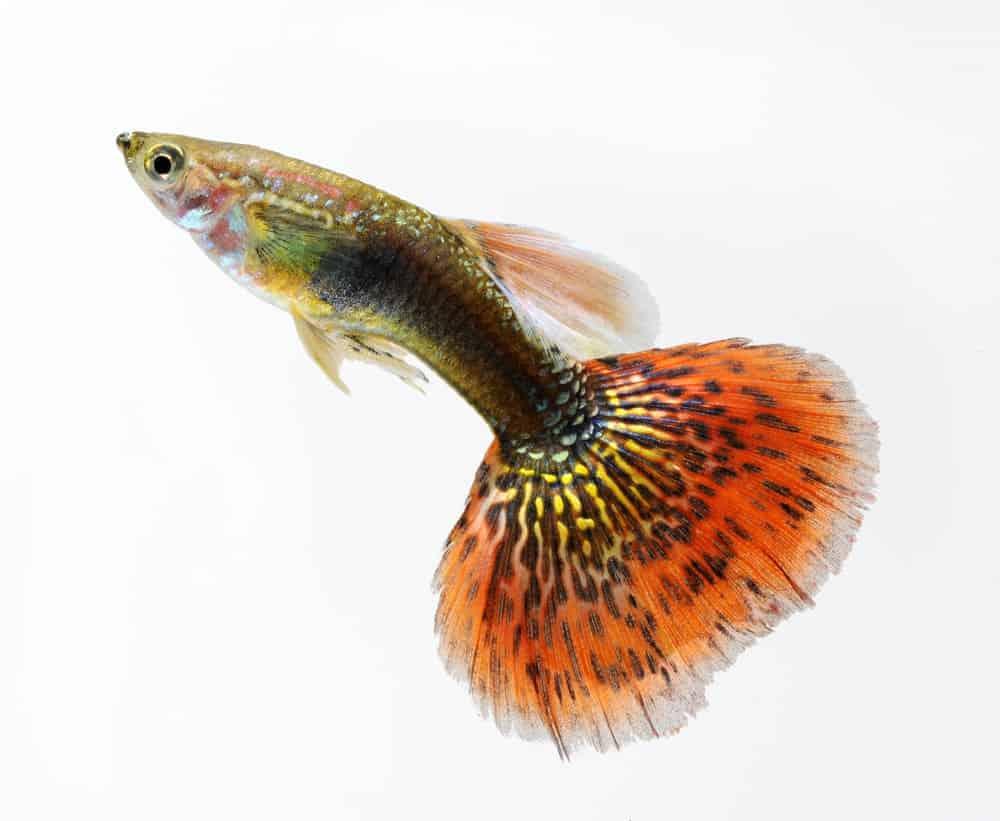 Guppy with beautiful tail pattern.