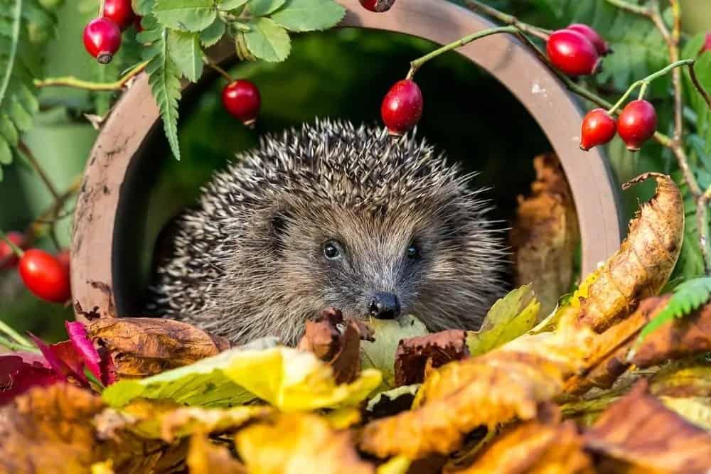 Hedgehog in the wild.