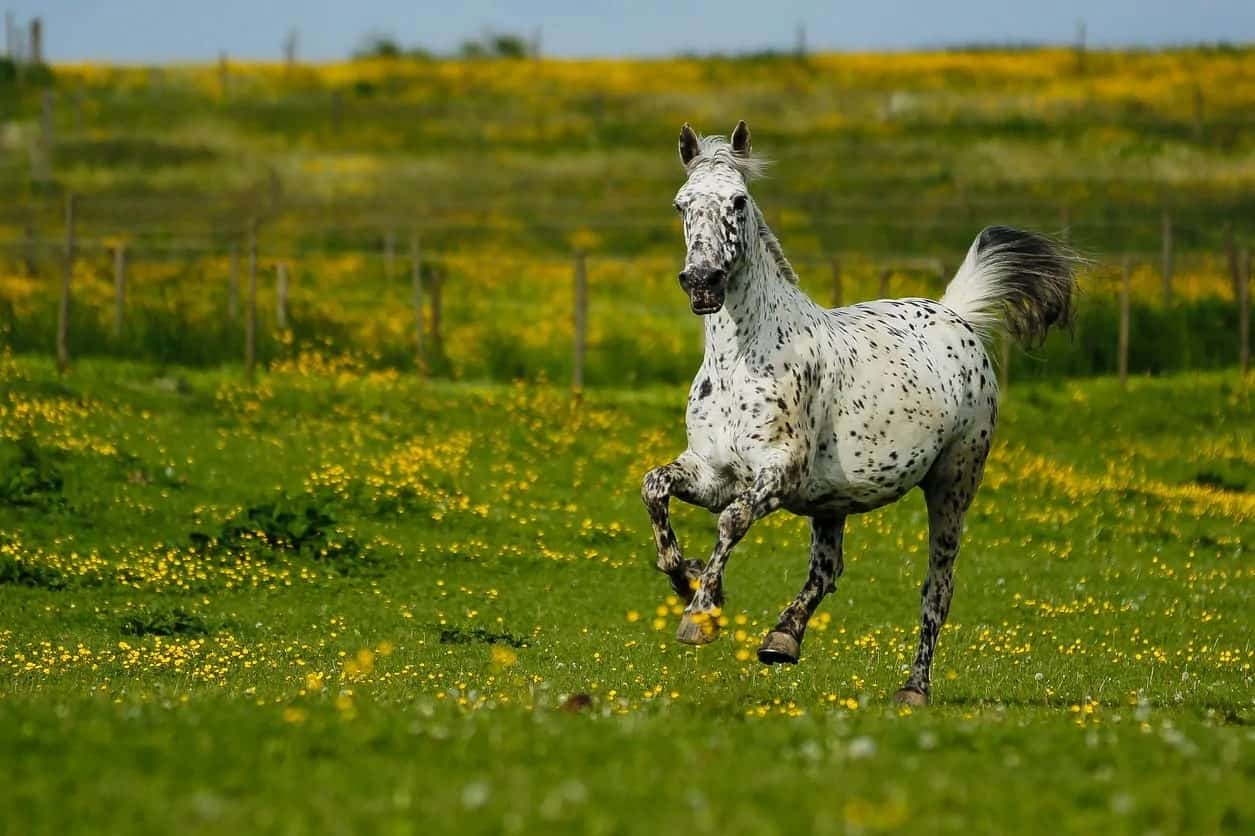 White Knadstrupper horse with black dots running in a field.