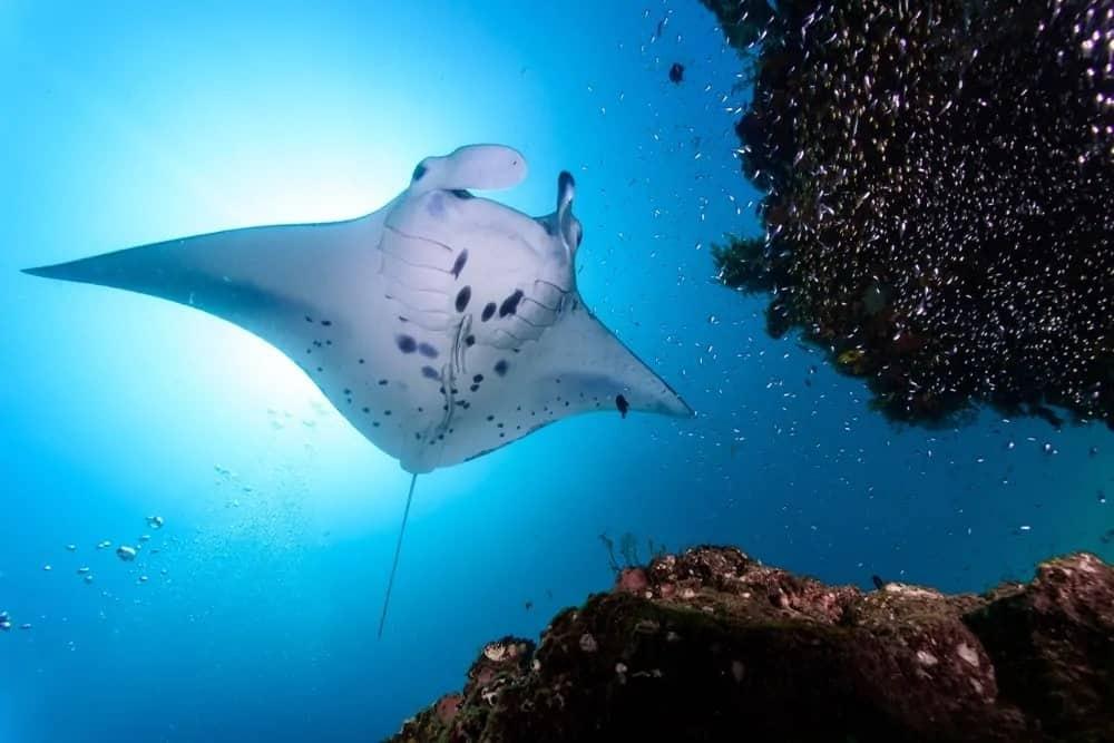 Manta ray swimming under water.