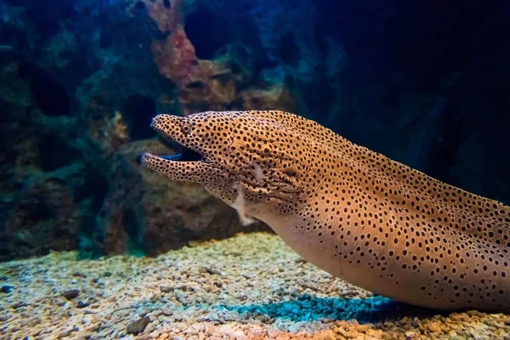 A black-spotted moray on a seabed.