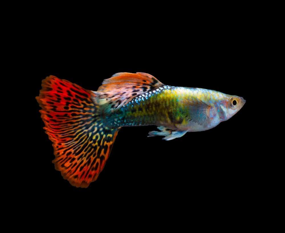 Multi-colored guppy