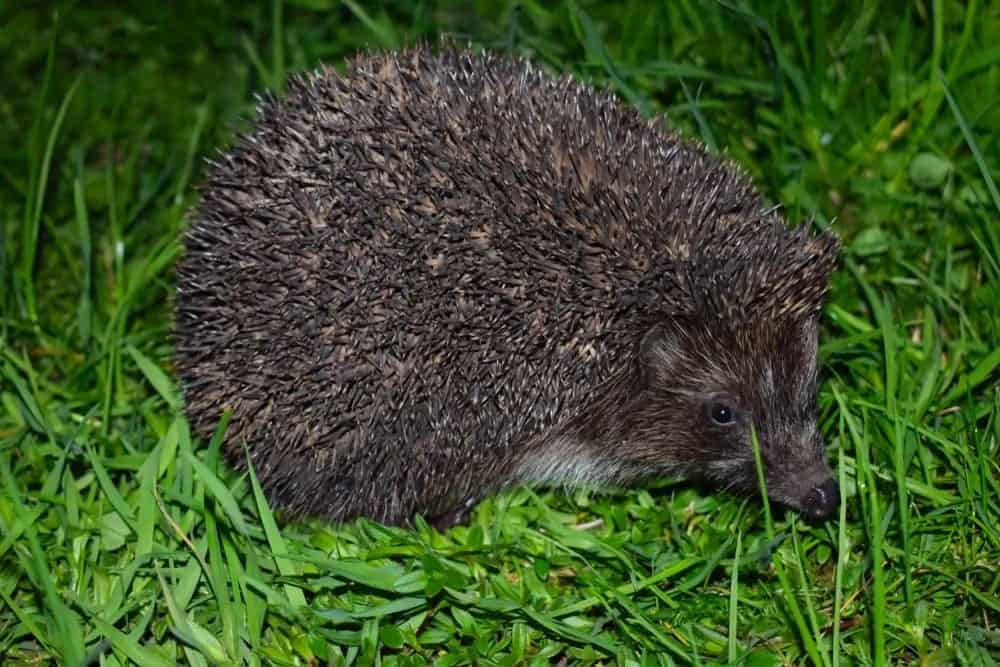 Northern white-breasted hedgehog resting on a grass.