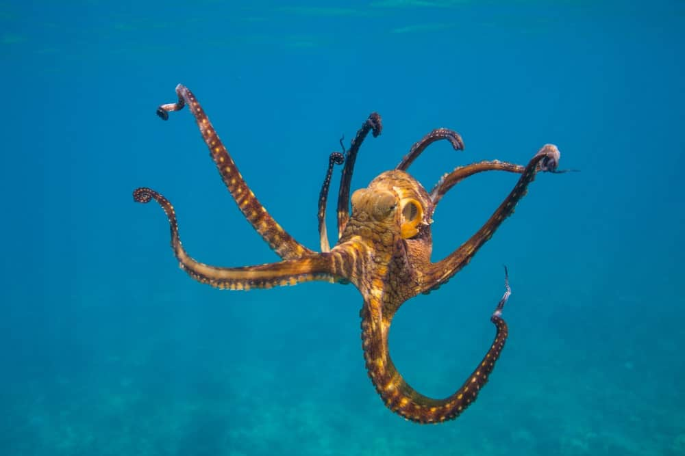 An octopus propelling itself through the water.