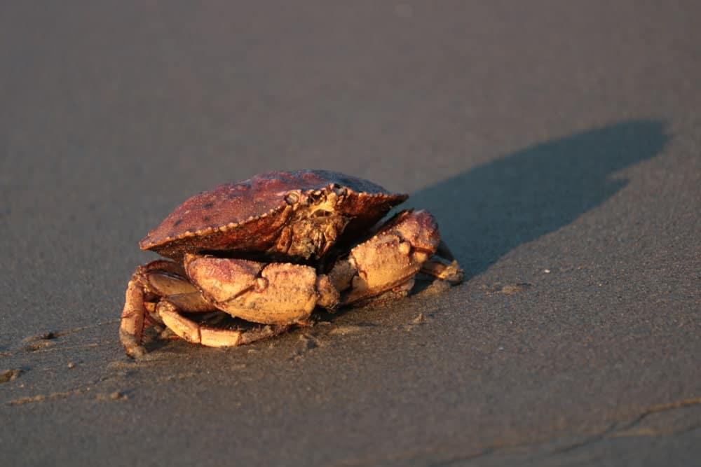 Peekytoe Crab on black sand.