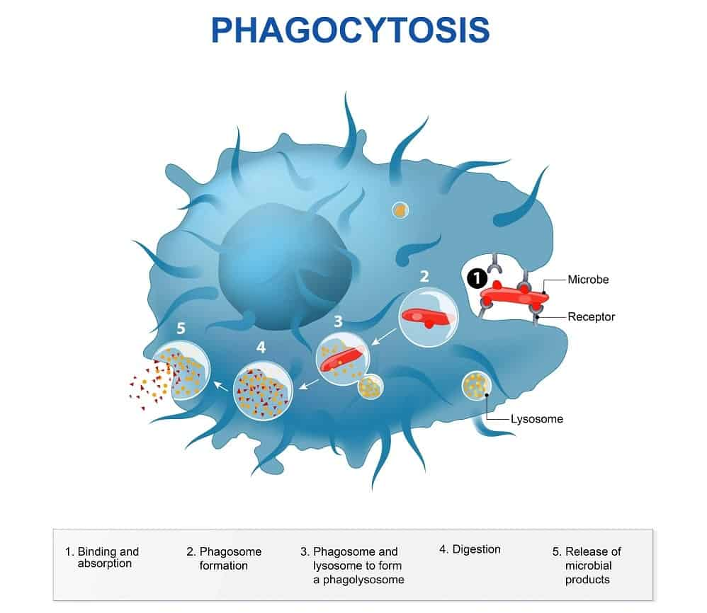 Illustration of phagocytosis.