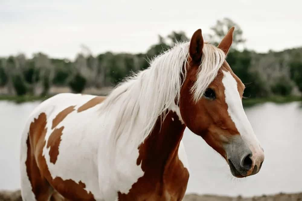 Pinto horse standing next to a river.