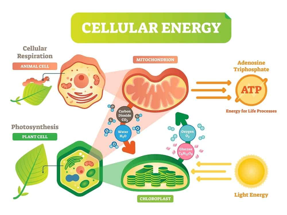 Illustration diagram of an animal and plant cellular energy cycle.