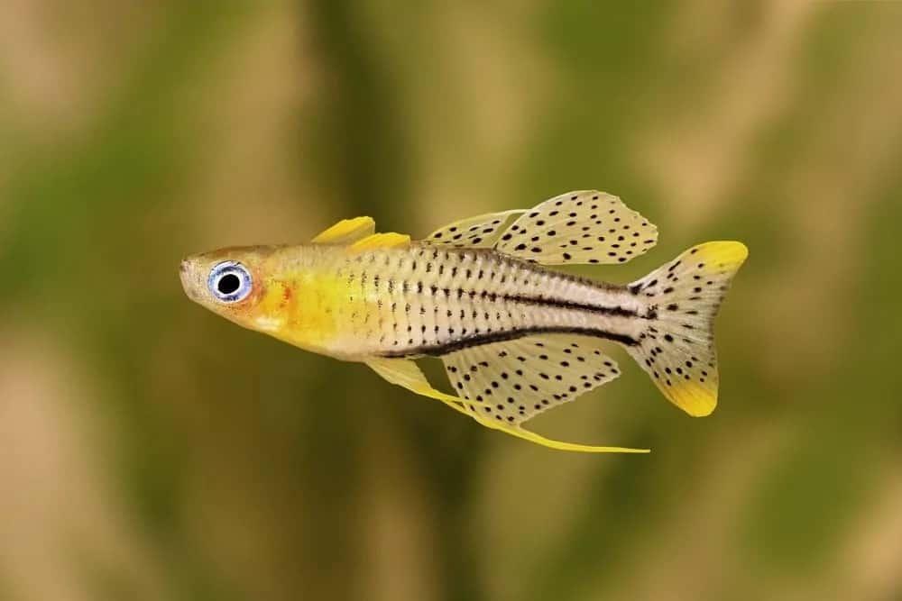 Pseudomugil rainbowfish