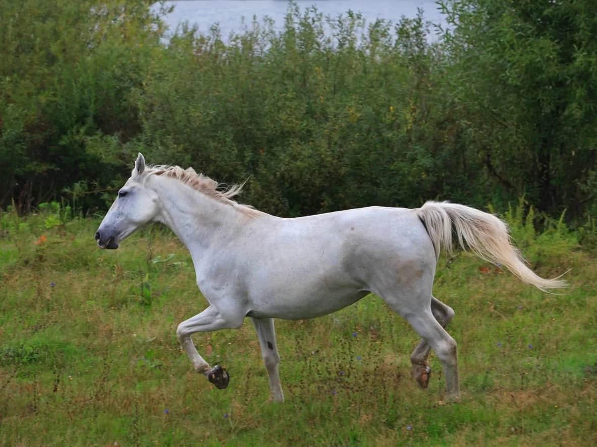 Pura Raza Espanola horse galloping around the field.