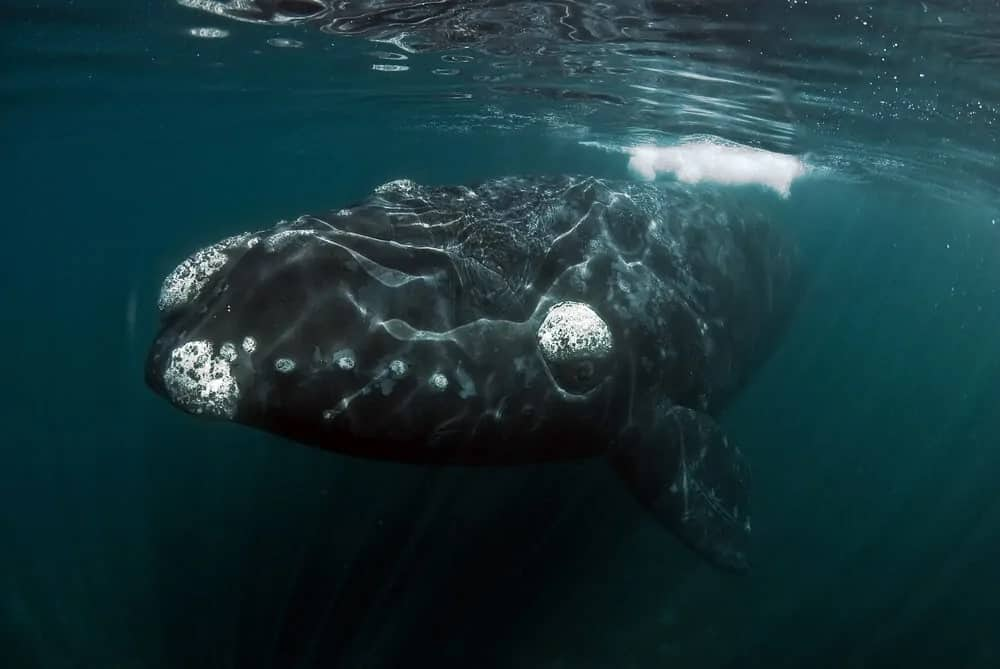 An enormous Right whale under water.