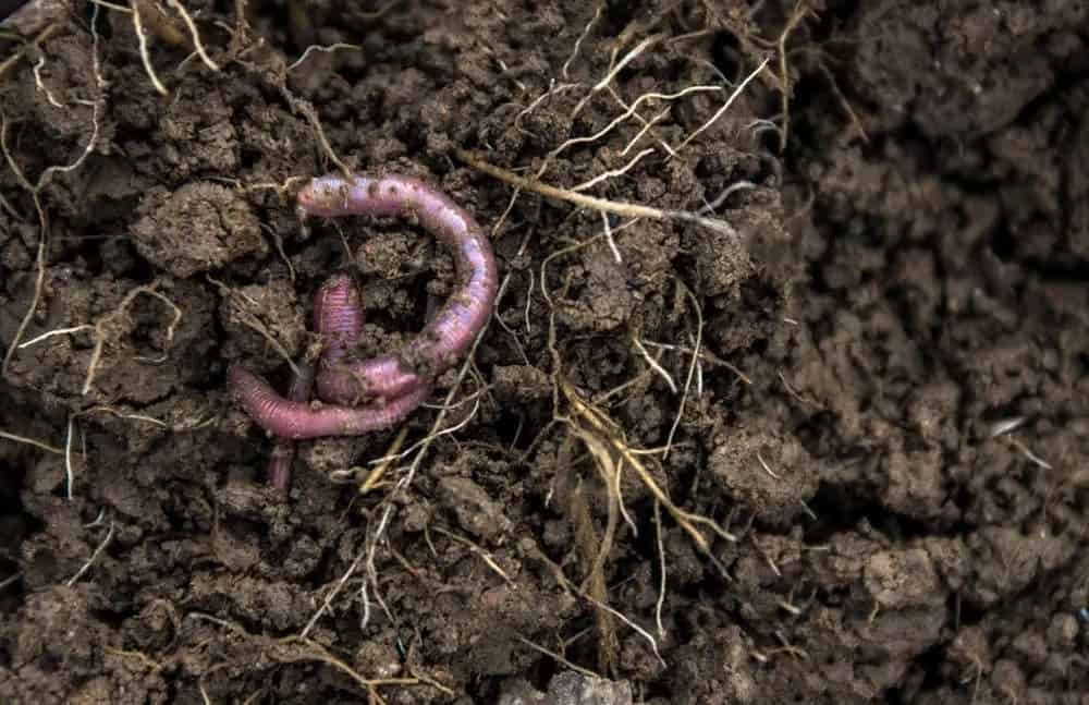 Root-dwelling worms in soil with small roots.
