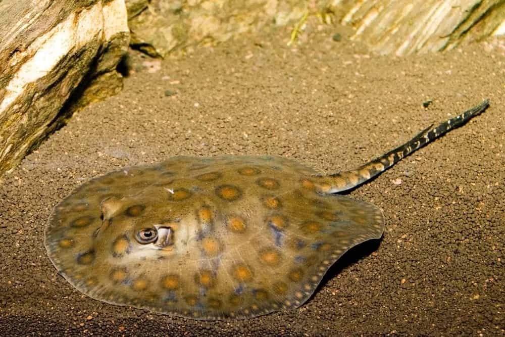 A round ray resting on the seabed.