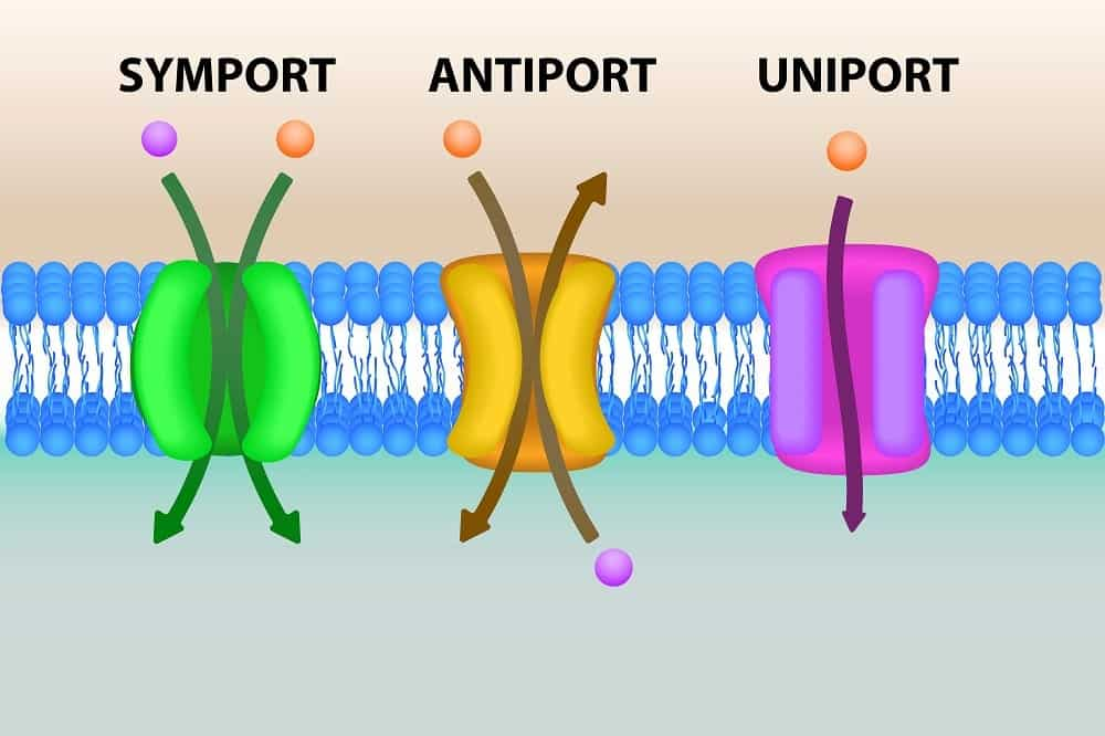 Illustration of the secondary active transport.