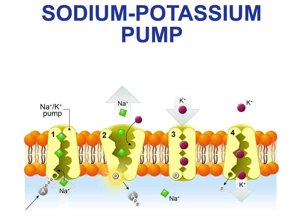 Illustration of the cycle of sodium-potassium pump.
