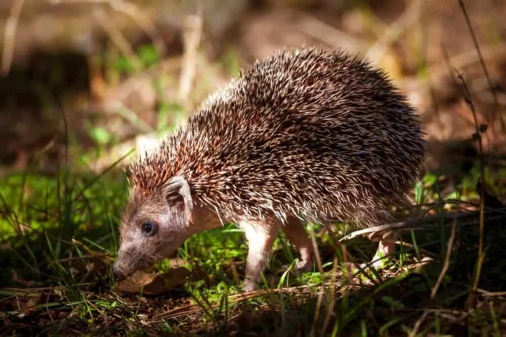 Southern white-breasted hedgehog walking on a grassy land.