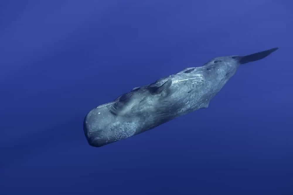 Sperm whale swimming in the ocean.