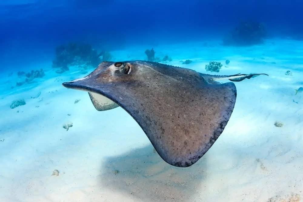 Standard stingray on an ocean floor.